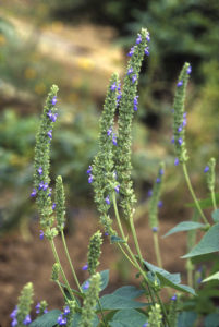 Pianta di Salvia Hispanica