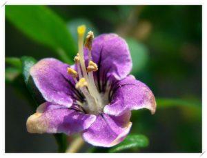 Lycium-Barbarum-fiore