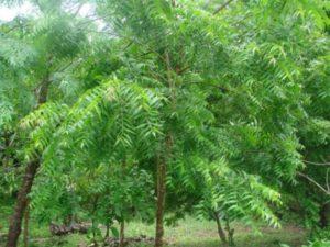 albero-neem