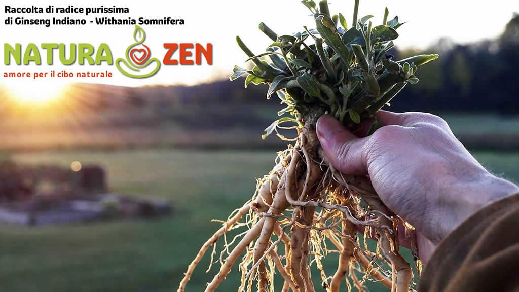 foto di una pianta e radice di ashwagandha il ginseng indiano