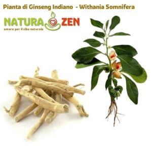 Foto della pianta e della radice di ashwagandha ginseng indiano