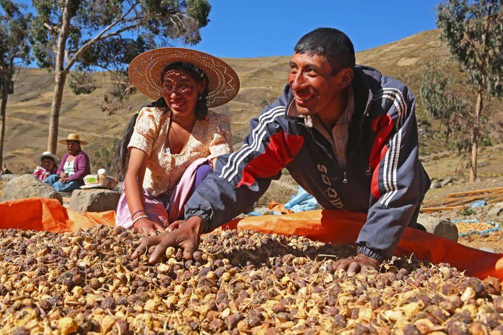 Maca Peruviana raccolto dei contadini peruviani