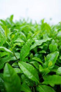 thé-matcha-pianta